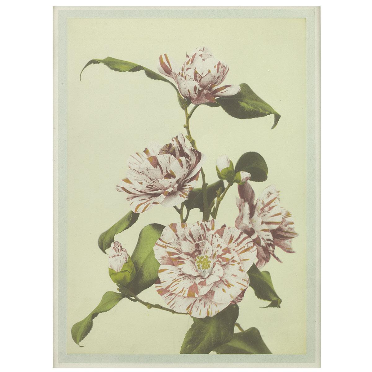 Ogawa Kazumasa, Collotype of Camellia
