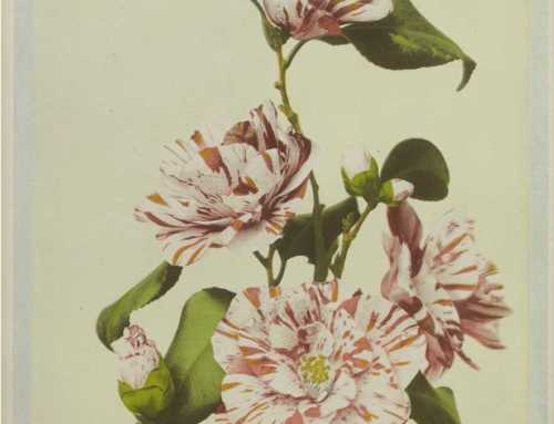 Collotype of camellia