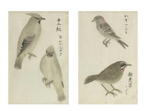 Watercolour studies of birds