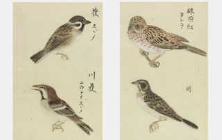 Watercolour studies of sparrows and other birds, MR3192_v1
